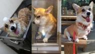 """Truy lùng chú chó corgi khiến cư dân mạng điên đảo với biểu cảm """"hờn cả thế giới"""""""