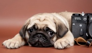 Top 10 giống chó thích hợp nhất để nuôi trong phòng trọ, nhà chung cư