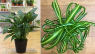 Những loại cây các chuyên gia phong thủy khuyên trồng trong nhà để rước tài lộc vào đầu năm mới?