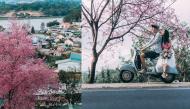 """""""Tan chảy cả trái tim"""" trên con đường hoa anh đào tuyệt đẹp ở Đà Lạt"""