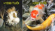 10 loài động vật sống thọ nhất hành tinh: ít nhất 200 tuổi, nhiều nhất không tính được