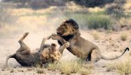"""Cận cảnh những trận đại chiến """"sinh tử"""" của các loài động vật hoang dã khiến ai xem cũng """"nổi da gà"""""""