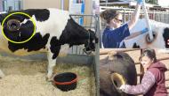Sự thật phía sau những chiếc lỗ đáng sợ trên lưng bò sữa khiến ai nấy đều giật mình kinh hãi