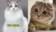 """Ai cũng phải tan chảy trước vẻ siêu đáng yêu của top 10 """"mỹ nhân"""" vương quốc mèo"""