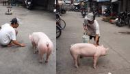 Chú heo đáng yêu ở Kiên Giang: Biết nghe lời và quấn chủ không rời nửa bước