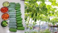 Vườn rau trên sân thượng của mẹ Hải Phòng chỉ 60m2 mà như nông trại, ai nhìn cũng ao ước
