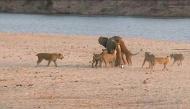 Khoảnh khắc chú voi con lạc vào bầy sư tử đói, thoát chết ngoạn mục và bài học quý báu về cuộc sống