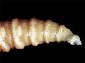 Kinh hoàng sự trở lại của loài ấu trùng đục lỗ trên cơ thể người