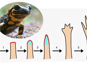 Liệu con người có thể mọc lại chân tay như loài kì nhông?