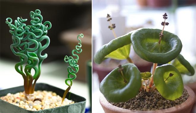 12 loại cây có dáng kì lạ, dễ trồng trong nhà được nhiều người săn tìm