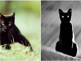 Hóa ra đây chính là lí do vì sao mèo đen bị xem là điềm xui xẻo