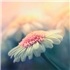 Hoa Tuyết Ngày Hè