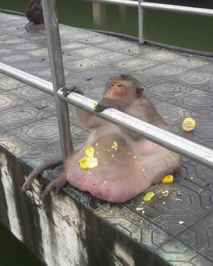 Chú khỉ béo phì gây lo lắng khi mất tích không dấu vết