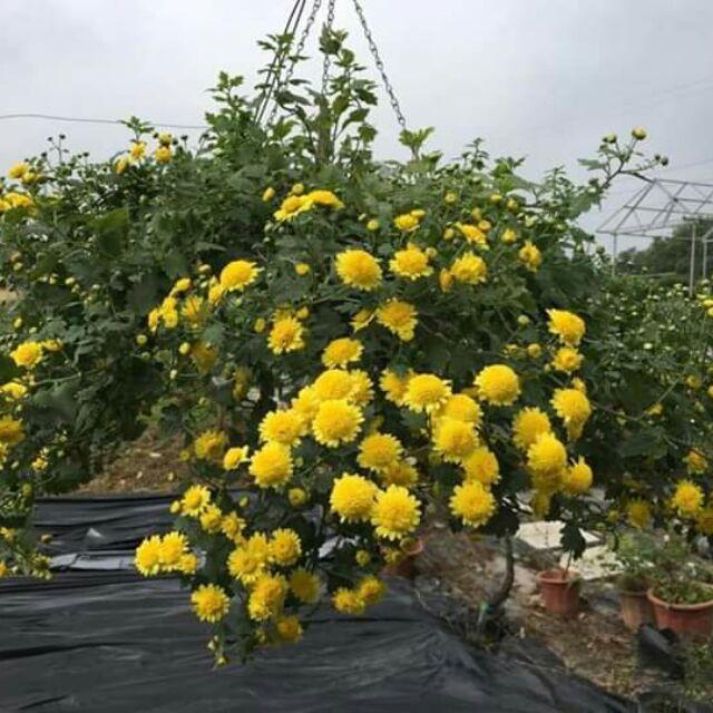 Rộ mốt chơi cúc rủ dịp cận Tết: Hàng vạn bông vàng rực rỡ phủ kín vườn