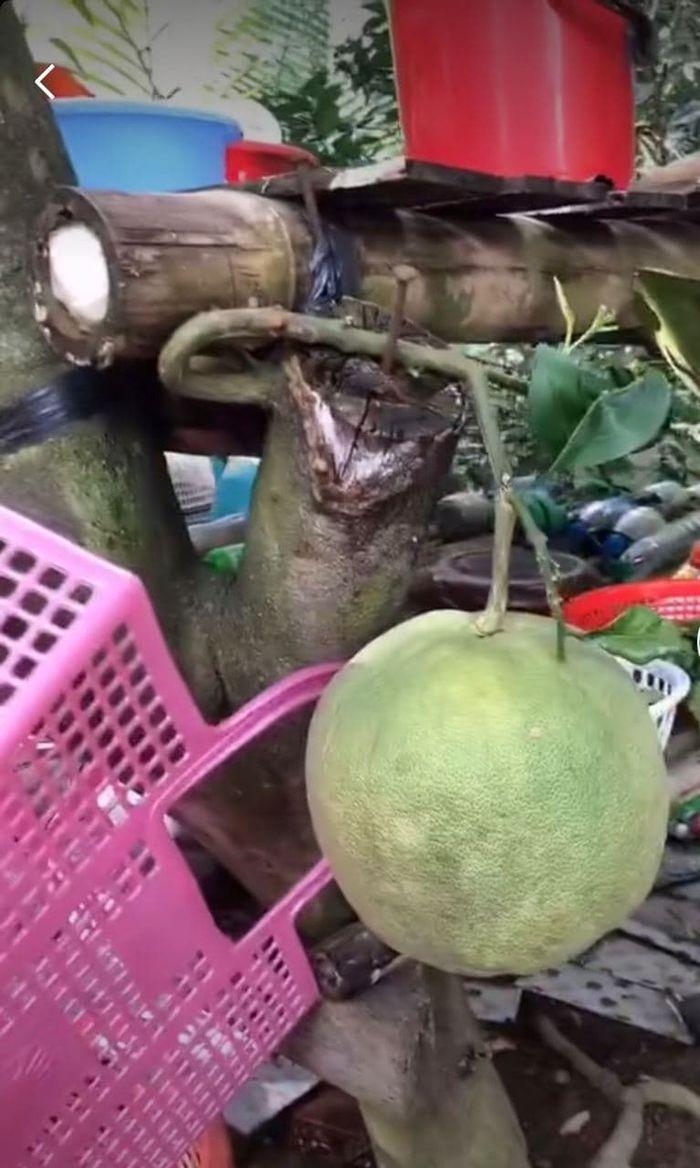 Những trái cây nghị lực nhất Việt Nam: truy cùng diệt tận vẫn sai trái