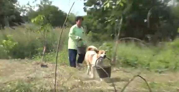 Lụi tim trước chú chó thông minh ngày ngày giúp bà xách nước, lấy củi